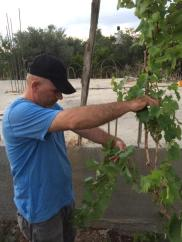 Pruning grapes
