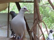 Pigeons on the farm