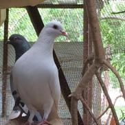 Pigeons on the farm