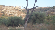 An old Palestinian tree underneath the encroaching illegal settlement